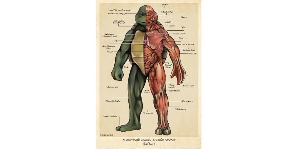 Teenage_Mutant_Ninja_Turtle_Anatomy_Poster